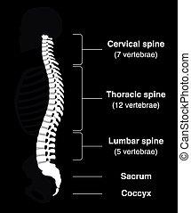 Backbone Black - Human backbone with names of the spine...