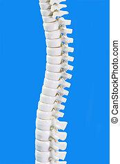 Backbone in Detail - Human backbone model in detail on blue...