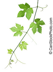 backdrop of grape or vine leaves isolated on white background. Please take a look at my other images of grape-leaves