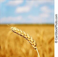 Backdrop of yellow wheat ears field
