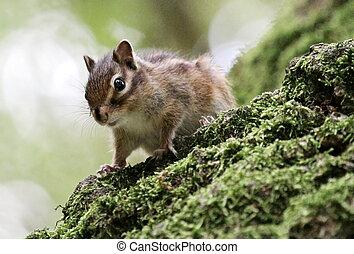backenhörnchen, auf, a, baum