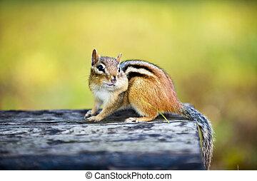 backenhörnchen, backe, holzstamm, vollgestopft