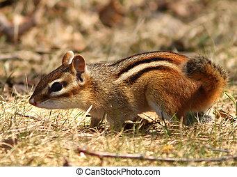 backenhörnchen, gestreift