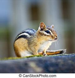 backenhörnchen, holzstamm, sitzen