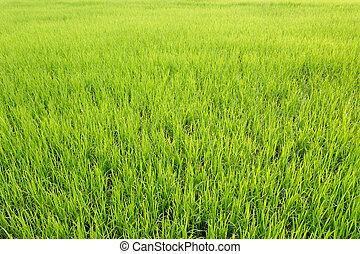 vivid rice field