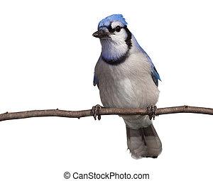 backgr, 距離, 頭, フルである, 傾いた, bluejay, まっすぐに, それ, 下側, リラックスする, 尾, じっと見る, 胸, ブランチ, branch., とまった, bluejay, ビュー。, 光景, 白, 側