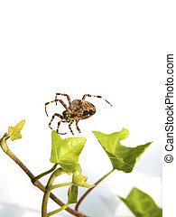 backgr, web, bianco, ragno