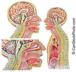 backgroun, set, isolato, contro, anatomico, umano, modello, bianco