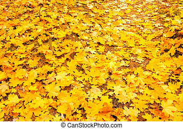 Background autumn yellow maple leaves in forest.