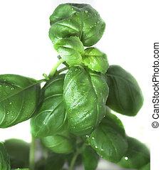 basil - background, basil, botanical, botany, cooking,...