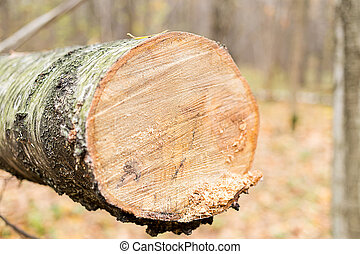 Background birch log trunk covered with bark smooth cut
