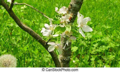 Background blooming of an apple tree.