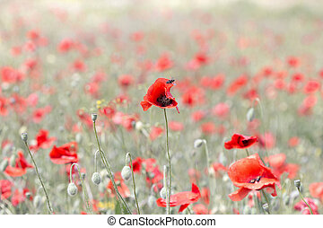 background blooming poppies