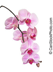 orchid - background; bud; burgeon; contrast; dear; exotic; ...