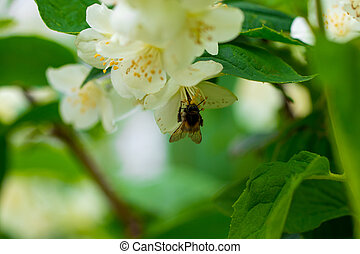 background close up of jasmine flowers in a garden