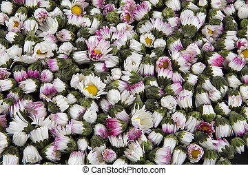 Background: closed daisies - bellis - Background: closed...