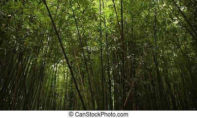 background dense green bamboo grove