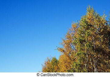 Background, detail of autumn birches