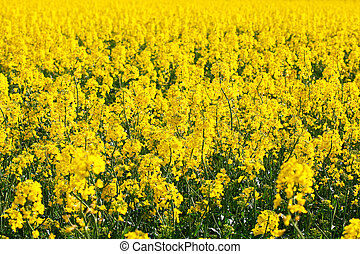 background field of yellow rape