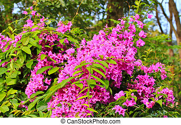 Background Flowering bougainvillea