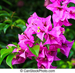Background Flowering bougainvillea