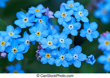 Background flowers Forget-me-not
