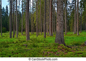 background forest clearing with spruce trees