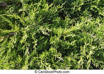 juniper branch