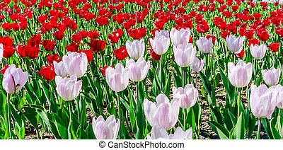 Background from blooming tulips of two colors
