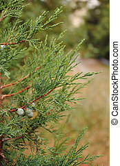 background from branchs of a juniper with berries