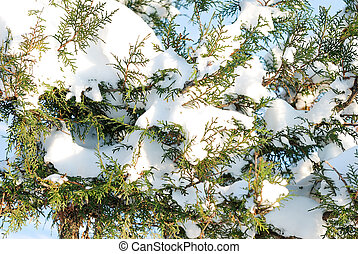 fur-tree branches in a snow