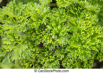 Background from green parsley