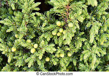 Background from juniper with green small berry