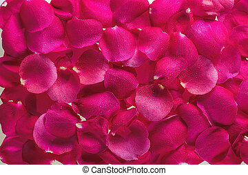 Background from petals of magnificent fresh roses with dew drops