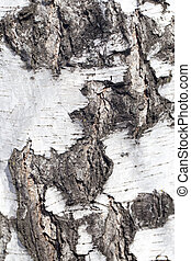 background from the bark of the birch