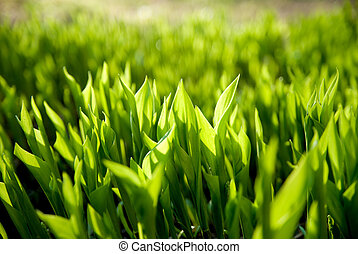 Background from the leaves of lily of the valley in the evening. A beautiful lawn
