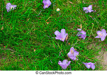 background grass and fallen flowers purple hibiscus