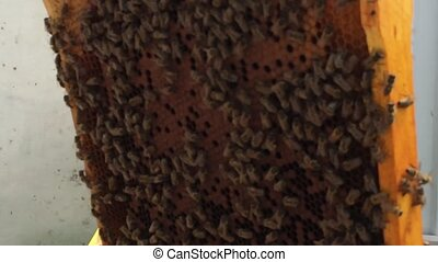 wax honeycomb from bee hive filled with golden honey -...