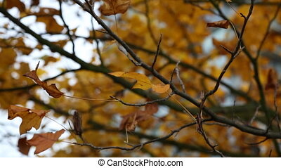 Background maple tree urban autumn