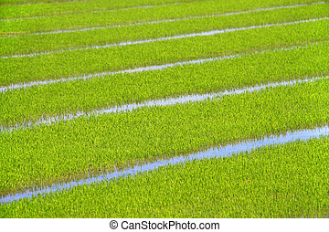 background of a bright green rice field