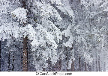 Background of a fragment of snow-covered fir forest