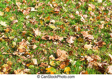 Background of a lawn with grass and autumn leaves