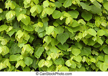 Background of a Lime Tree