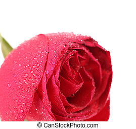 Background of a wet red rose
