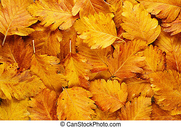 Background of autumn hawthorn leaves