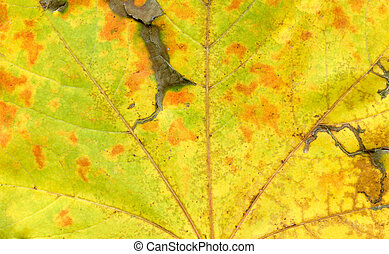 Background of autumn leaf. Autumn leaves macro view texture.