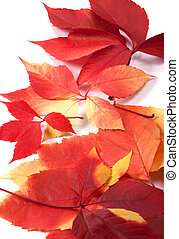 Background of autumn leafs (Virginia creeper leaves)
