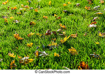 background of autumn leaves on the green grass backlit