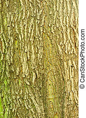 Background of bark of Norway Maple, Acer platanoides, closeup.