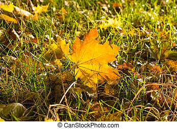 background of beautiful autumn maple leaves